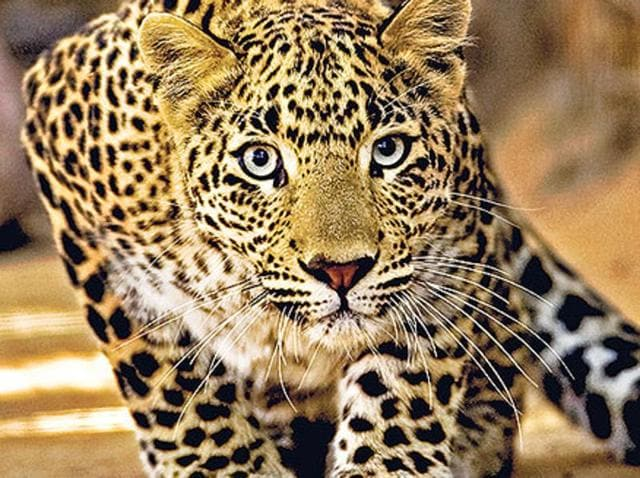 A leopard was found hiding out at Vibgyor school in Bengaluru on Sunday morning. A cameraman and an environmentalist were among half  a  dozen injured in the rescue operation.