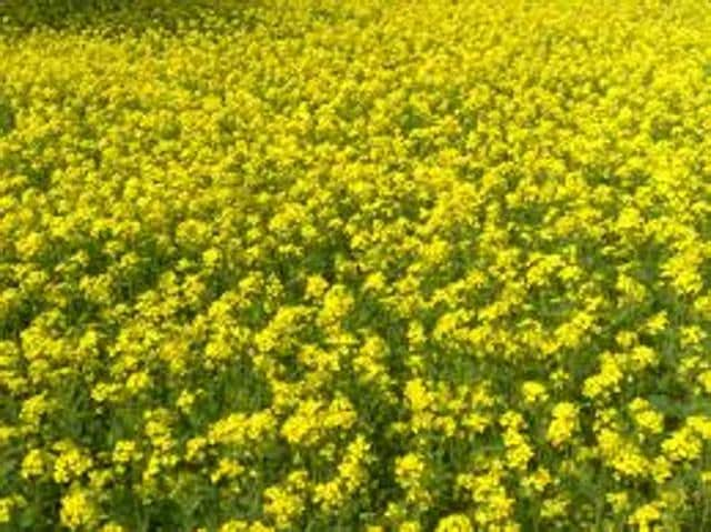 The environment ministry's Genetic Engineering Appraisal Committee (GEAC) has begun examining final biosafety data related to GM mustard