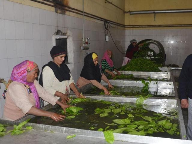 """'Saag' leaves being washed in large vessels at a processing unit run by Jagmohan Singh near Verka in Amritsar. The man runs his business on contacts. """"I have a verbal contract with around 30 farmers of villages in the Batala area growing mustard,""""he says."""