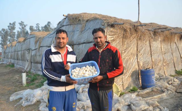 Mushroom farmer Mandeep Singh (right) and his brother Harpreet Singh showing freshly plucked button mushrooms from their farm on the Baba Bakala highway in Amritsar.
