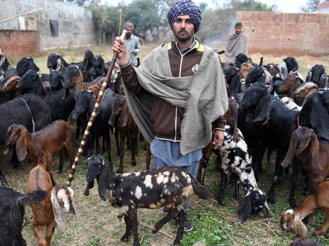 Futuristic farmers,shepherd,goatery