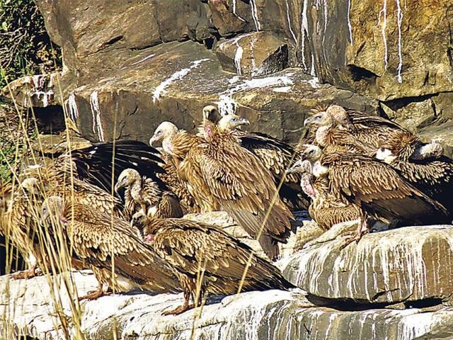 Vultures at the Panna tiger reserve. (HT photo)