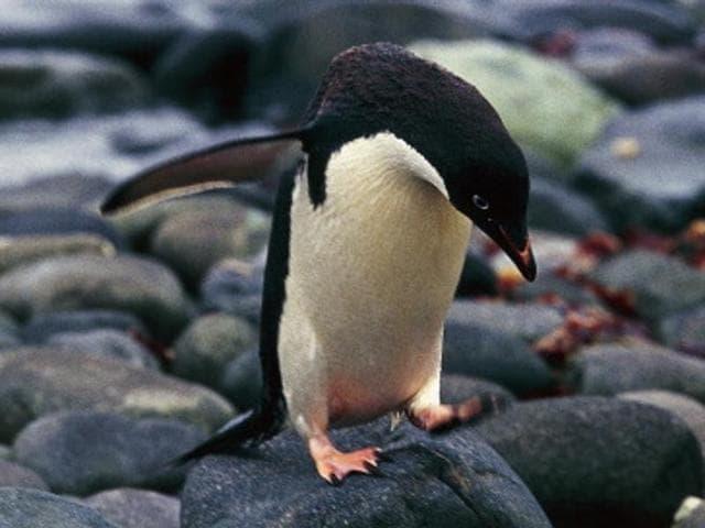 Adelie Penguins,Antarctica's Cape Denison,Antarctic Science