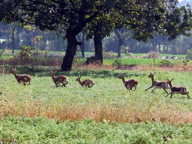 Deer population in Shajapur district is more than 1,100.