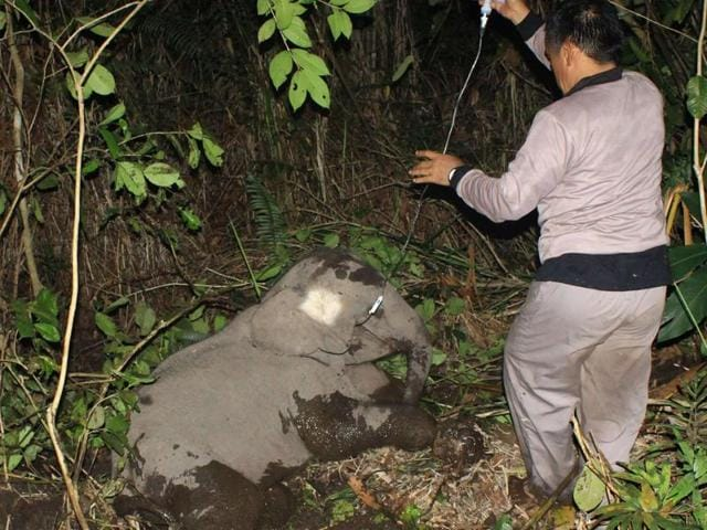 Indonesian veterinary workers treat a sick elephant calf after its leg became entangled at the Balairaja wildlife sanctuary in Bengkalis, Riau province.