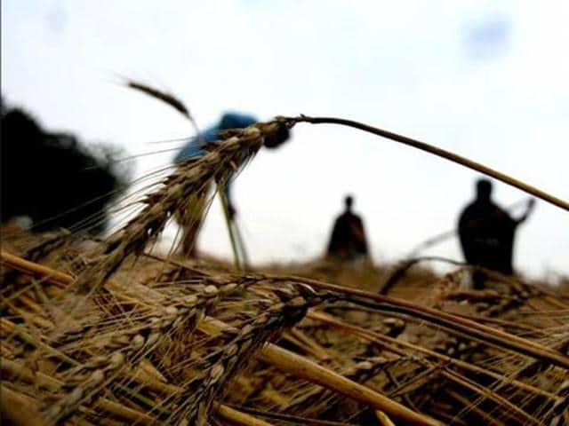 Farmers sow seeds in the paddy fields of Yeoor village in Thane. The decline of the NREGA scheme has compounded the acute misery in rural India, which is currently in the grips of its worst unemployment crisis in years.