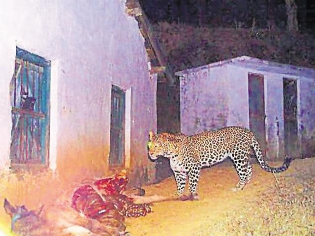 The leopard that was trapped on camera during a hunt.