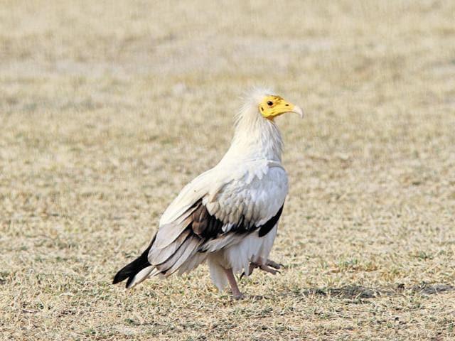 Mangar Bani,Diclofenac,Egyptian vulture