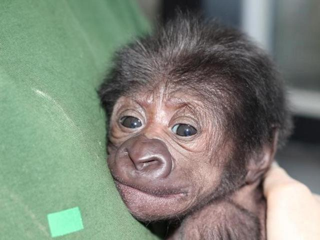 A baby female Western lowland gorilla is seen in this handout photograph dated February 17, 2016.