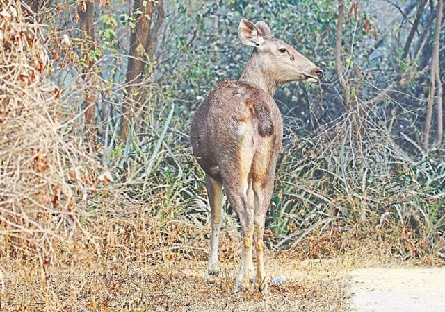 Experts say the animal might have strayed into the Central Ridge either from Rajaji National Park in Haridwar (Uttarakhand) or from Sariska National Park in Alwar (Rajasthan).