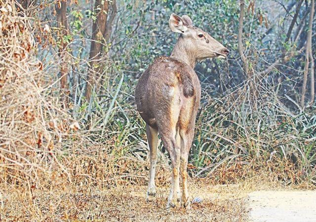 Wildlife,Sambar Deer,Buddha Jayanti Park
