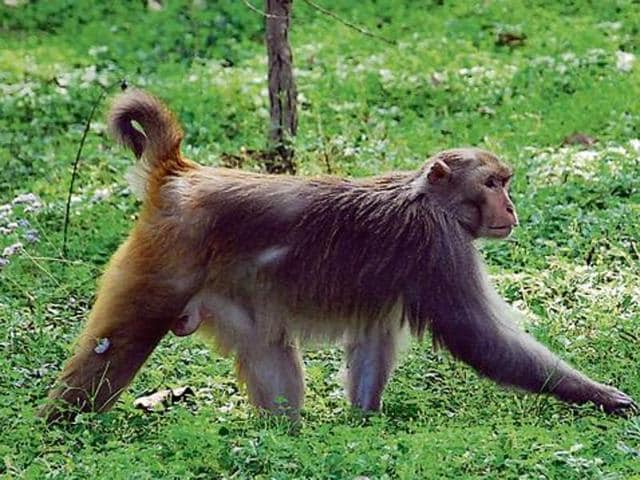 Forest minister Thakur Singh Bharmauri in reply to a question of Kullu legislator Maheshwar Singh said that the government was working on checking man-animal conflict. He said the forest department has already conducted a survey to assess the population of monkeys.