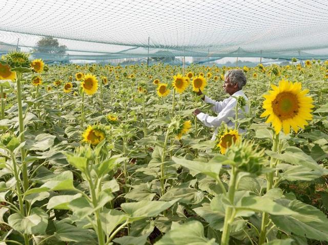 A farmer inspects the sunflower crop at his farm near Bengaluru. Agriculture has received lion's share in the Union Budget 2016-2017 that was presented by finance minister Arun Jaitley on Monday.