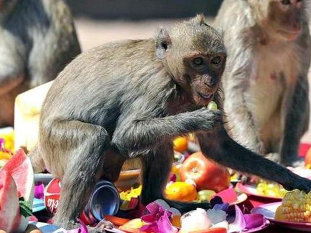 Himachal: 'Govt releasing monkeys in BJP MLAs' constituencies'