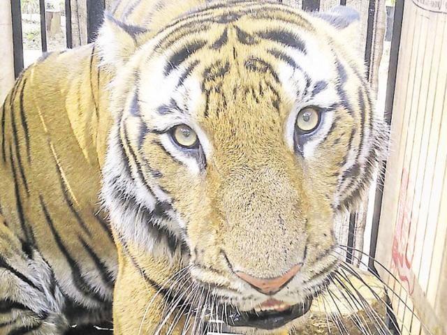 Male tiger Mallick at Birsa Munda Zoological Park in Ranchi on Tuesday.