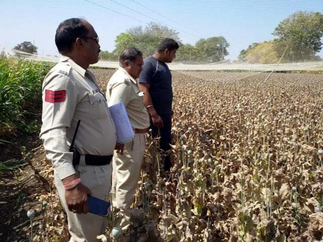 The damaged opium crop in Neemuch.
