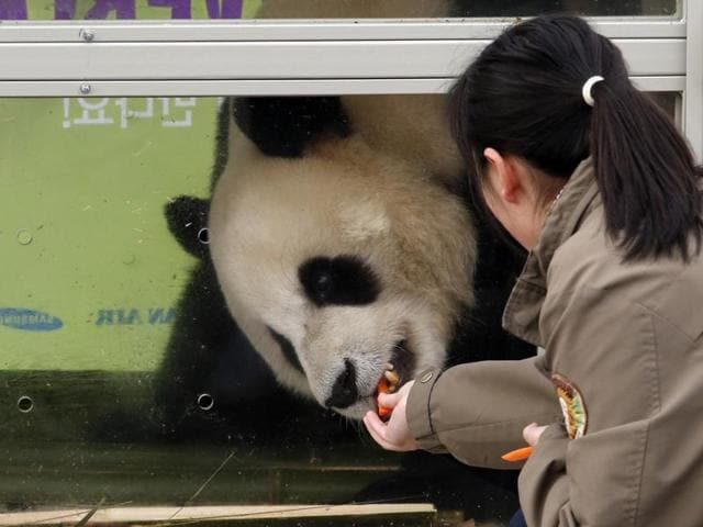 A South Korean handler feeds a panda named Le Bao, a three-year-old male, during a welcoming ceremony for a pair of giant pandas from China's Sichuan province.