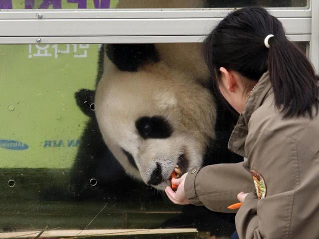 Chinese Pandas