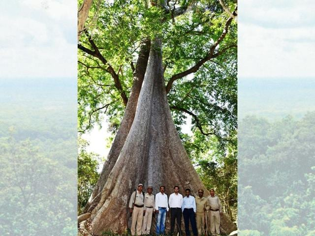 This Semal tree in the Nandhaur Wildlife Reserve in Uttarakhand, could be one of the most massive trees ever discovered.
