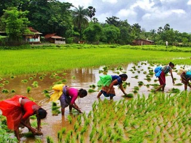 Farmers sow seeds in paddy fields