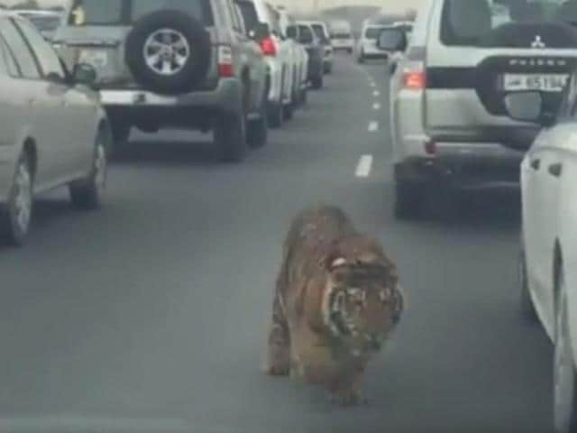 Footage including a 20-second video on YouTube and Twitter showed the big cat running through lanes of heavy traffic, apparently trying to find a way off the congested road.