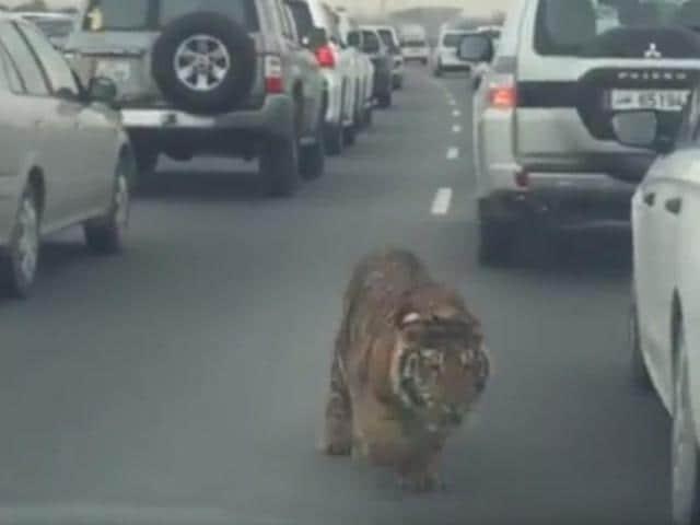 Tiger on Doha highway,Doha Expressway,Pet tiger