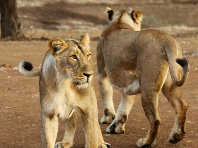 "Representative image of the ""Land of the Lions"" project to be inaugurated at London Zoo next week."