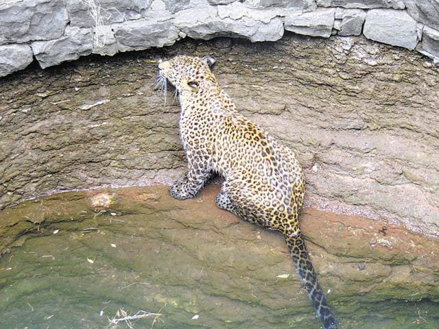 The five-year-old leopard was rescued after an hour-long operation and released into the wild on Monday.