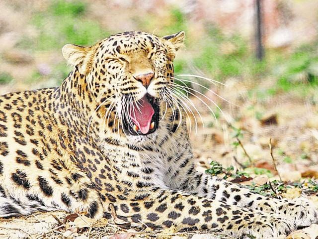 leopard poaching,Wildlife Institute of India,leopard killed in MP
