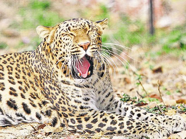 Leopard carcass with missing teeth and nails found in MP's Dhar forest