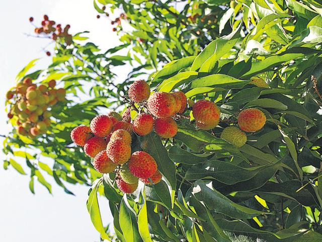 Farmers have been growing litchi in and around Dinanagar town of Gurdaspur district for a long time.