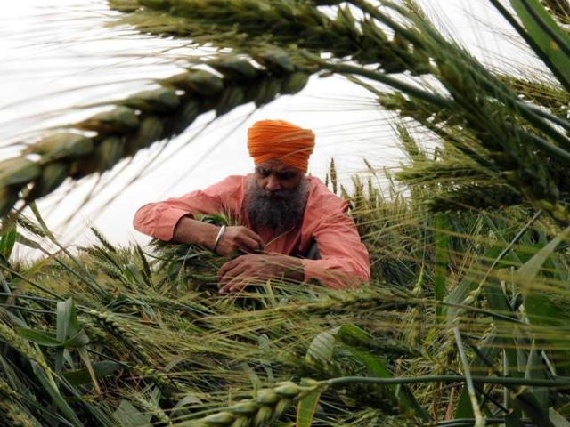 Hailstorm also lashed some places in Punjab, including Phagwara, ringing alarm bells for the farmers as it caused some harm to the standing wheat crop. If heavy rains persist and are followed by strong winds, it could flatten the wheat crop affecting the grain quality.