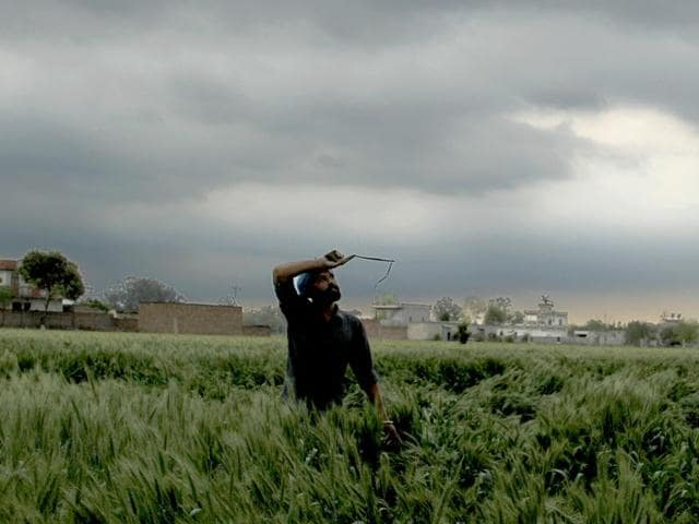 A farmer trying to straighten flattened wheat crop after damage caused by rain on Saturday.