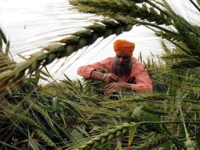 Heavy rainfall along with high-velocity winds has inundated the fields with rain water and caused lodging of the crop which according to experts and farmers will affect the crop yield.