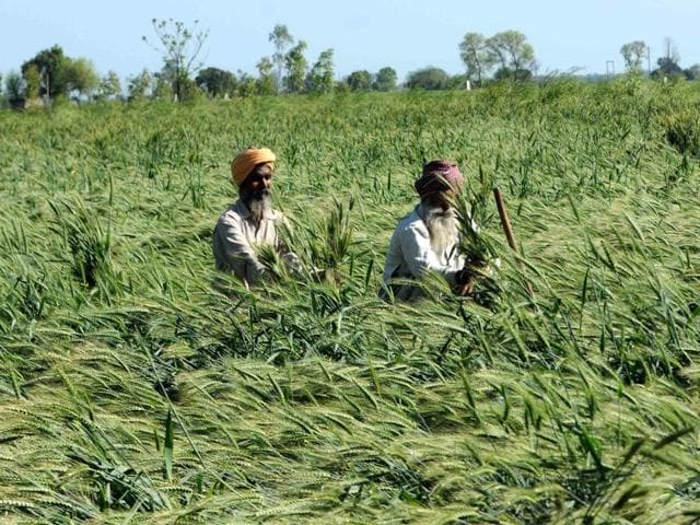 Farmers in Patiala tend to flattened wheat crops. Heavy rains induced by westerly disturbances flattened the wheat crop less than a month before harvest in key food-producing states.