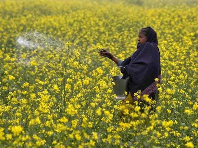 Spurred by food security concerns, the Centre is pushing for support from state governments to use GM mustard seeds commercially. However, anti-GM activists argue introducing GM seeds to revive the agriculture sector will only give GM producing companies market monopoly instead of benefitting farmers.