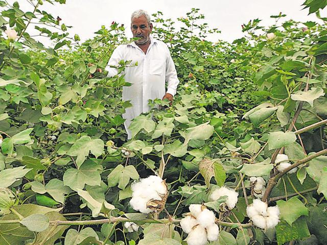 The introduction of Monsanto's GM cotton seeds in 2002 helped turn India into the biggest producer of the fibre, while other crops like pulses continue to suffer as transgenic food is banned and local research has stalled.