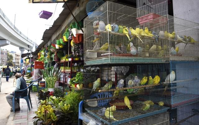 Caged birds are kept on pavement  in Adhchini market