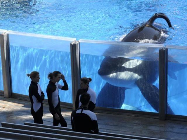 Killer whale Tilikum  watches as SeaWorld Orlando trainers take a break during a training session at the theme park's Shamu Stadium in Orlando, Florida.