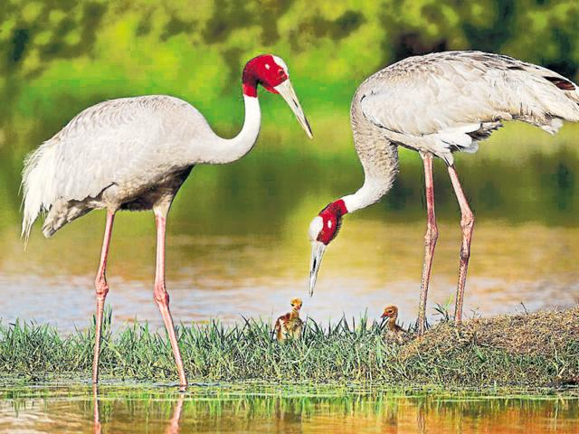 The marshland is home to a number of migratory birds including the Sarus crane, UP's state bird.(Anand Arya)