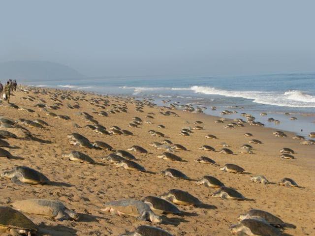 Olive Ridley turtles return year after year to nest on Odisha's beaches. (Photo: Rabindranath Sahu)
