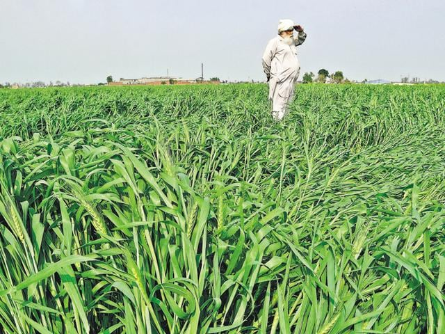 A farmer inspects his damaged wheat crop at Simbro, near Patiala, March 13