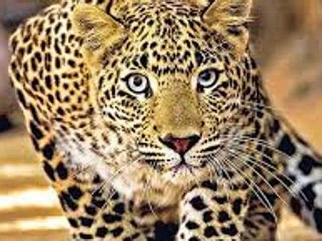 Mansa,leopard,Mander village