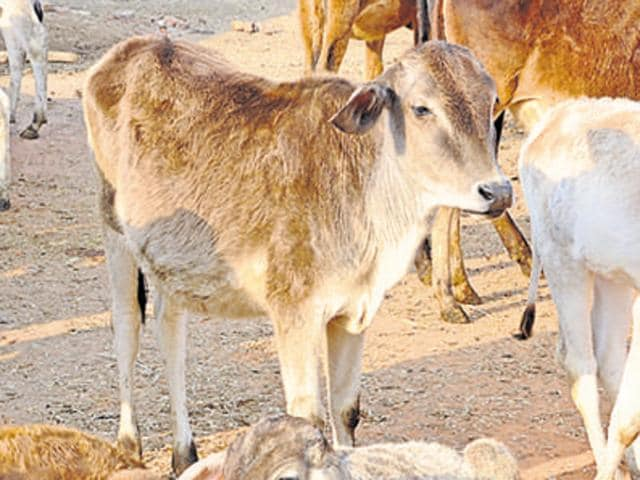 Four cows were stolen from the cow shelter in Surajkund area of Meerut early on Tuesday.