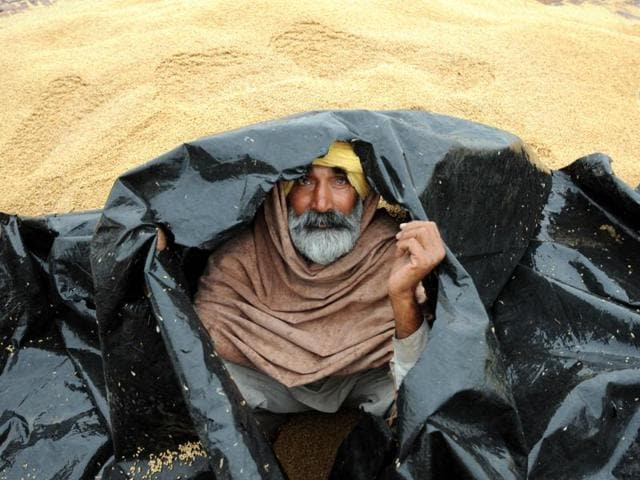 A farmer protecting himself with a plastic sheet during rainfall at Mehmadpur village open grain market in Patiala district.
