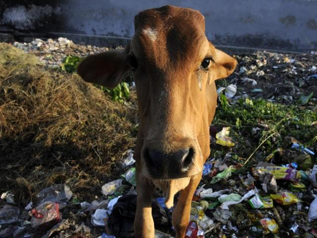 Man booked for unnatural act with cow in MP