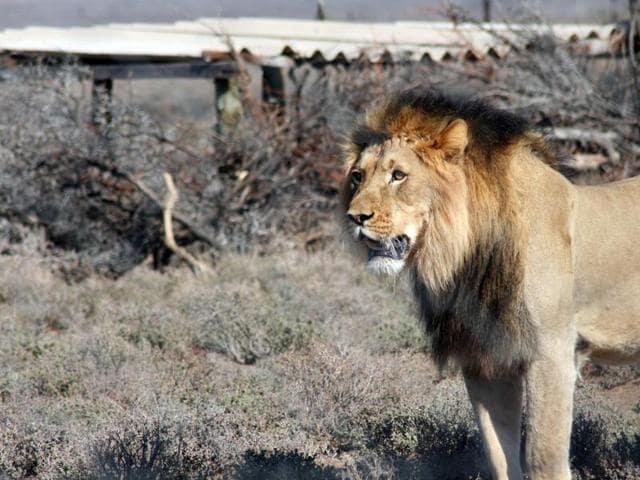 Lions escape