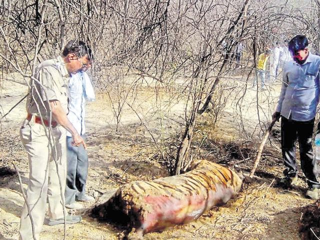 The body of T-35 in Sultanpur forests of Kota on Wednesday.