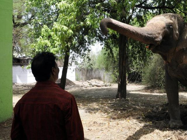 Elephant Moti at Indore Zoo.