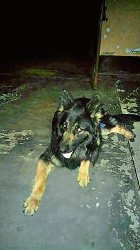 Blacky, the German Shepherd, who foiled the armed attack in Loni on Friday night.